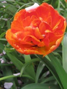 meervoudige tulp uit eigen tuin